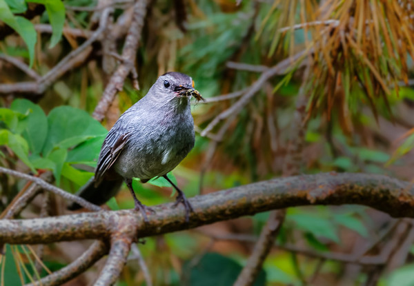 Catbird eating Insect