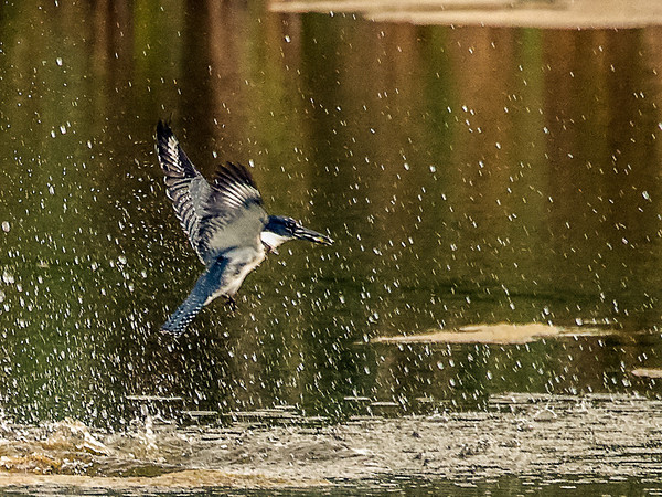 Belted Kingfisher Emerging with Prey