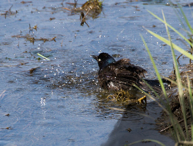 Grackle Cooling off in Stream