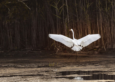Great White Egret Ballet
